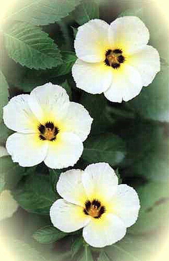 Original www.cemetery.org flower