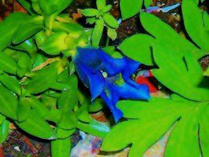 Royal blue Gentian Flowers